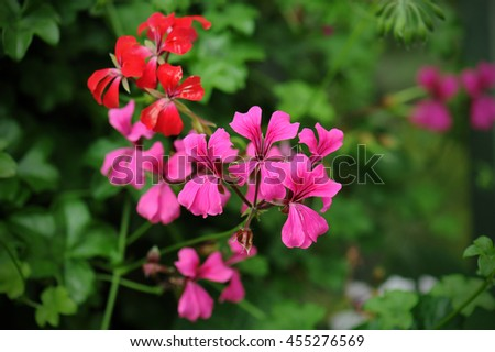 beautiful geraniums flower in nature