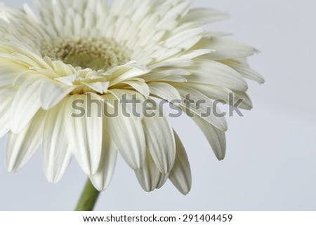 Beautiful gerber flower isolated on white background - stock photo