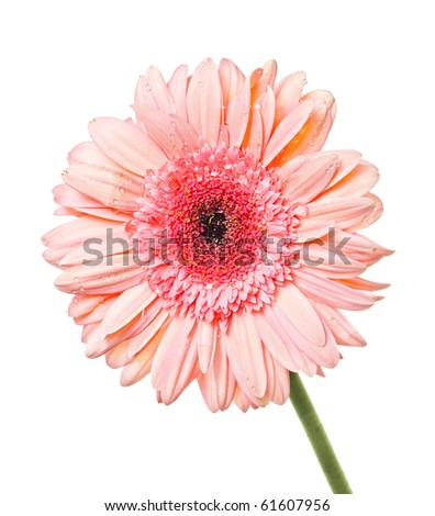 Beautiful gerber flower with dew on petals isolated on white background - stock photo