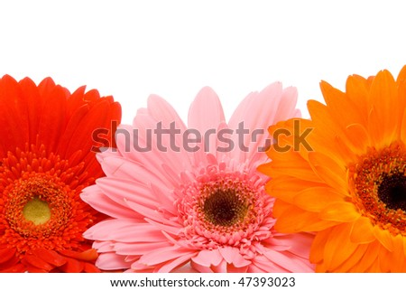 Beautiful gerber flowers on a white background - stock photo