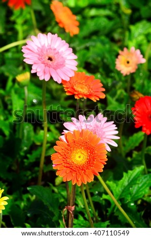 Beautiful gerbera flower in garden .flower wedding decoration, beautiful gerbera flower blooming background.selective focus. - stock photo