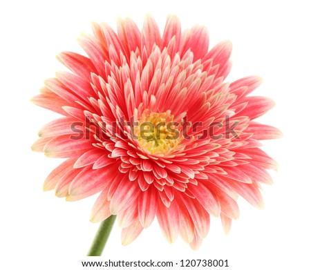 beautiful gerbera flower isolated on white - stock photo