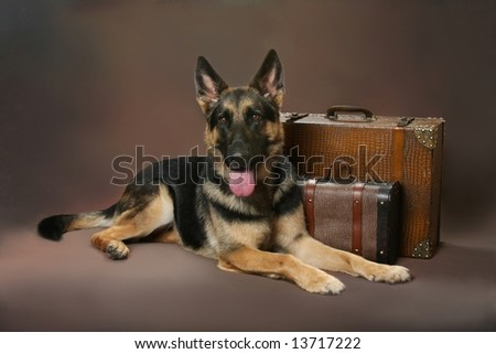 Beautiful German Shepard laying next to vintage luggage - stock photo