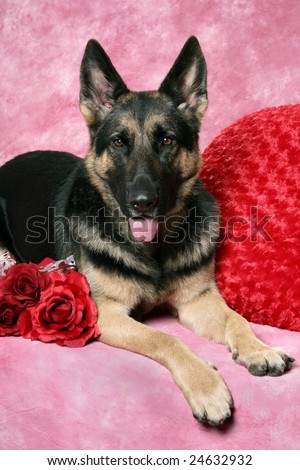 Beautiful German Shepard with red valentine pillow and roses