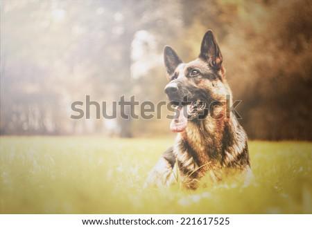 beautiful german shepherd dog dog trick in autumn nature - stock photo