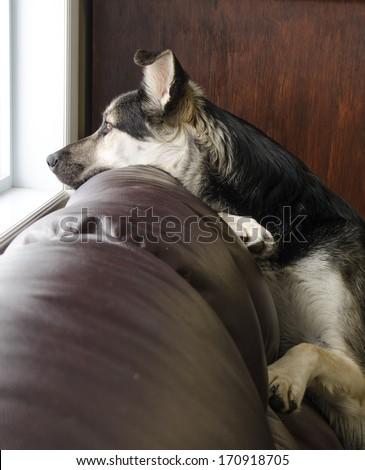 Beautiful German Shepherd dog looking out a window. - stock photo