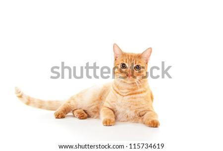 beautiful ginger cat lying - stock photo