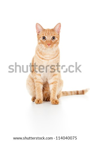 beautiful ginger cat sits isolated - stock photo
