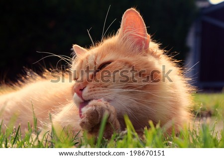Beautiful ginger cat washes in the garden at sunset