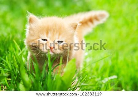 beautiful ginger kitten on green grass - stock photo