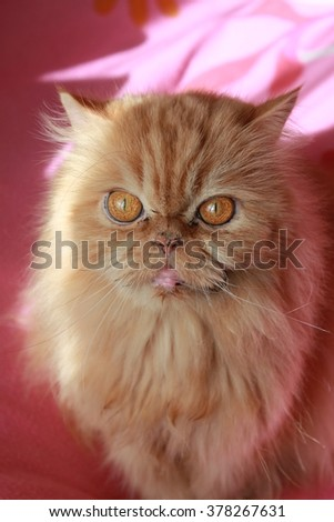 beautiful ginger Persian cat breeds with yellow eyes - stock photo
