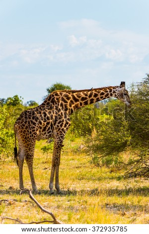 Beautiful Giraffe in the Moremi Game Reserve (Okavango River Delta), National Park, Botswana - stock photo