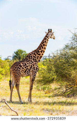 Beautiful Giraffe in the Moremi Game Reserve (Okavango River Delta), National Park, Botswana