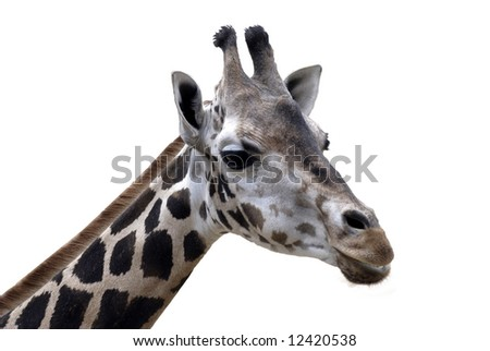 beautiful giraffe isolated on white background
