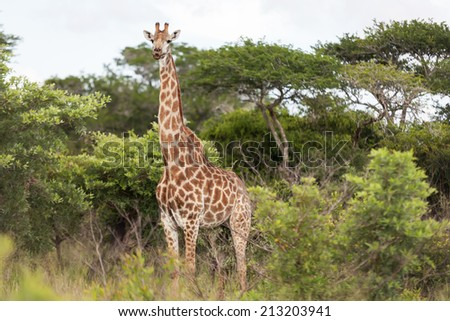 Beautiful giraffe standing in the trees in South Africa - stock photo