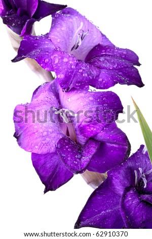Beautiful Gladiola Flower - completely isolated on white background - stock photo