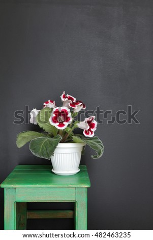 Beautiful Gloxinia Flowers  in a Flower Pot. Houseplants