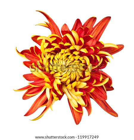 Beautiful golden autumn irregular incurve chrysanthemum,meaning big chrysanthemum, isolated on white background - stock photo