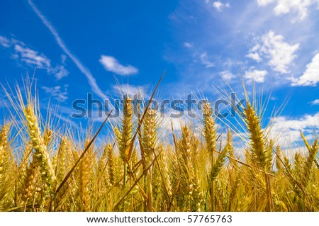 Beautiful golden crop meadow in the blue sky - stock photo