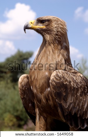 Beautiful golden eagle (Aquila chrysaetos) - stock photo