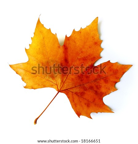 Beautiful golden Fall leaf isolated in white - stock photo