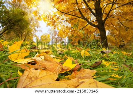 Beautiful golden leaves in the sunny park