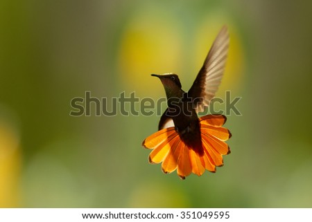Beautiful golden-orange throated hummingbird Ruby-Topaz Hummingbird Chrysolampis mosquitus directly hovering in backlight at the camera. Outstretched orange tail, blurred orange and green background. - stock photo