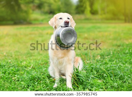 Beautiful Golden Retriever dog holding in teeth a bowl on grass - stock photo