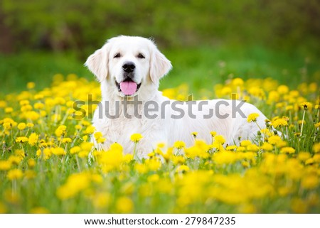 beautiful golden retriever dog lying dow outdoors - stock photo