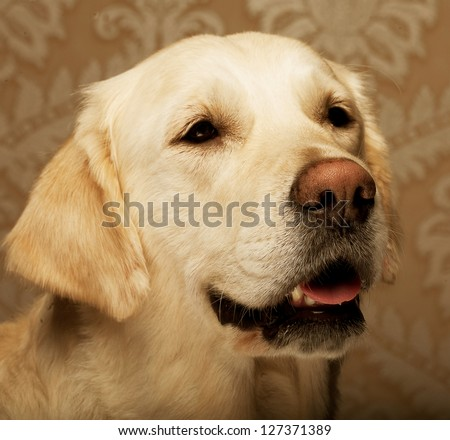 beautiful golden retriever dog photographed at home - stock photo