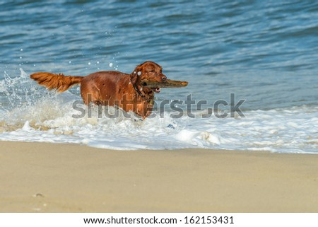 Beautiful Golden Retriever dog playing on the beach with a stick - stock photo