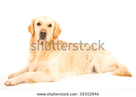 Beautiful Golden Retriever on white background - stock photo