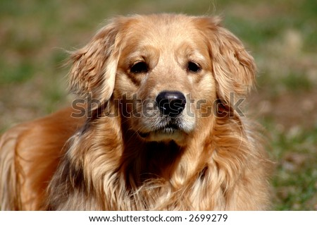 Beautiful golden retriever, sunlit
