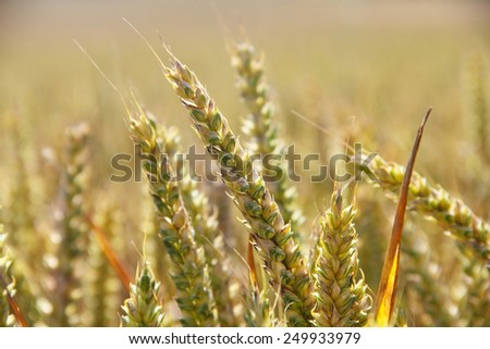 Beautiful golden wheat field at sunny day close-up