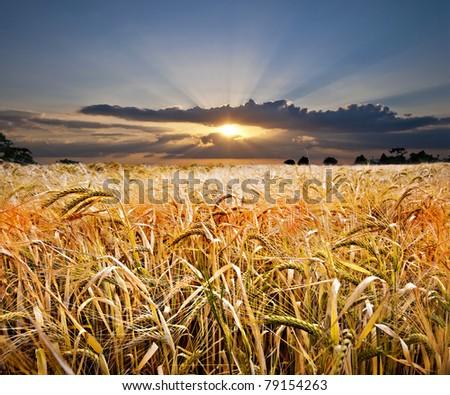 beautiful golden wheat field with a spectacular sunset with bright sunbeams in the background - stock photo