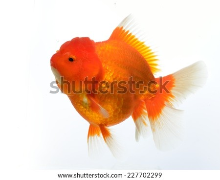 Beautiful Goldfish Isolated Black Background