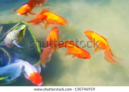 Beautiful goldfishes in pond - stock photo