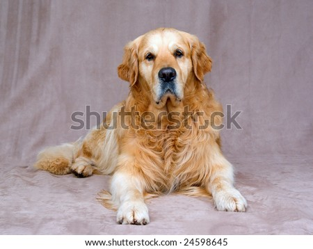 Beautiful GR Golden Retriever lying down