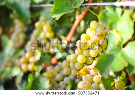 Beautiful grape in farm at Blenheim, New Zealand