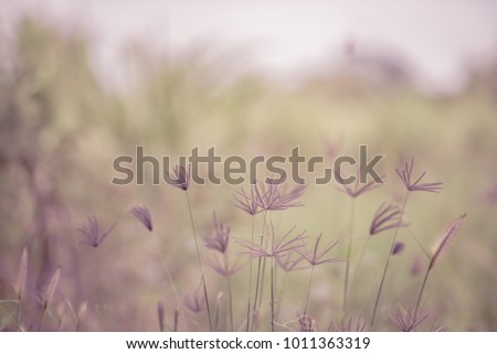Beautiful Grass Flower in the morning for background.