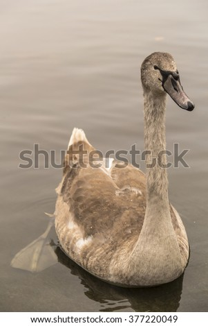 Beautiful gray baby swan floating on water in autumn. Hyde Park. London (UK)  - stock photo