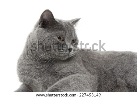 beautiful gray cat (age 11,0 months) lying on a white background. horizontal photo.