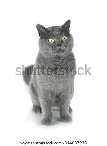 Beautiful gray cat. Isolated on white background - stock photo