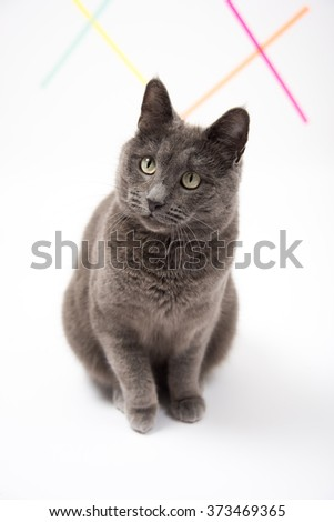 Beautiful Gray Cat Sitting on White Background Looking Up at Camera - stock photo