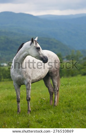 beautiful gray horse to stand on a green meadow against mountains - stock photo