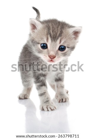 beautiful gray kitten on white background