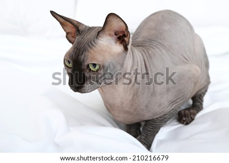 Beautiful gray sphinx cat on bed - stock photo