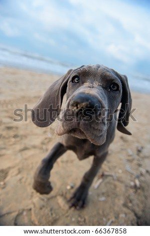 Beautiful Great Dane puppy on the beach - stock photo