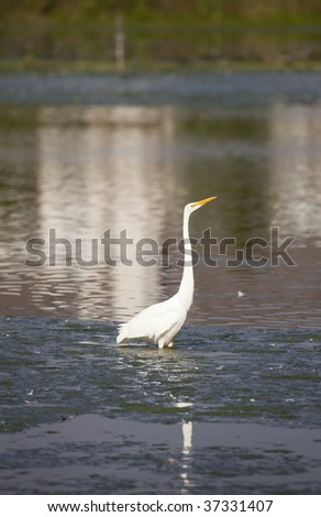 beautiful great egret standing on the water