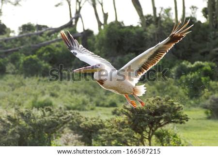Beautiful great Pelican in flight with wide spread wings - stock photo